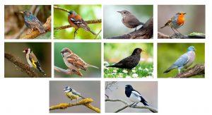 Pictures of 10 common garden birds